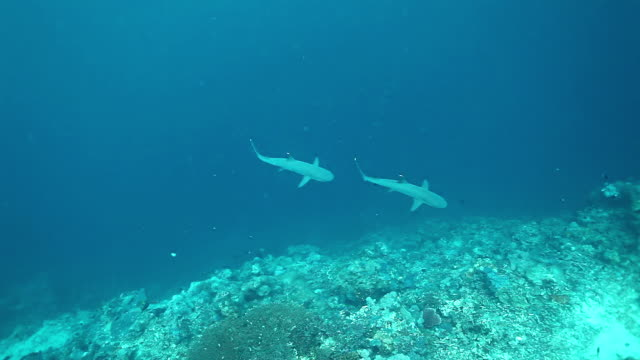 ms shot of two white tip reef sharks swimming from blue to reef wall / sipadan, semporna, tawau, malaysia - group of animals stock videos & royalty-free footage