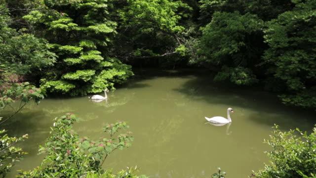 ms pan shot of two wild swans swim in lake / izumo, shimane prefecture, japan  - shimane prefecture stock videos & royalty-free footage