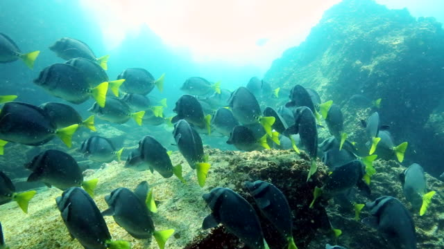 ms ts shot of underwater scene of school of fish / cantons, galapagos, ecuador - galapagos islands stock videos & royalty-free footage