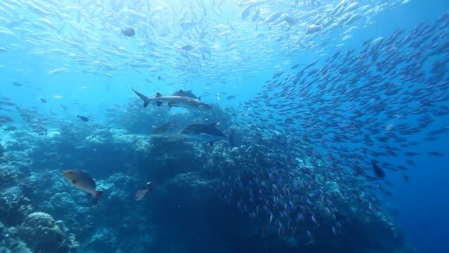 WS Shot of underwater scenery with sharks and trevallies hunting school of fish / Sipadan, Semporna, Tawau, Malaysia