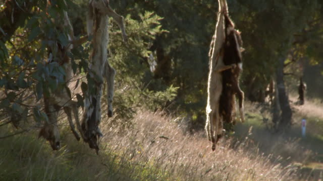 ms shot of various dog carcasses hanging on tree / jindabyne, new south wales, australia - 五つ点の映像素材/bロール