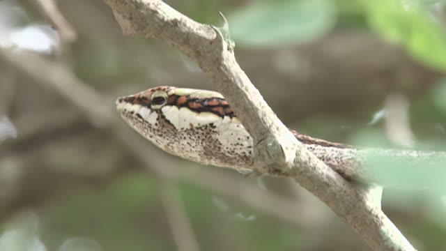 ecu shot of vine snake imitating vine  / kruger national park, mpumalanga, south africa - provinz mpumalanga stock-videos und b-roll-filmmaterial
