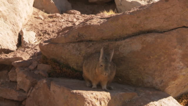 MS TS Shot of Viscacha, Lagidium viscacia hopping among rocks in high Andes mountains / San Pedro de Atacama, Norte Grande, Chile