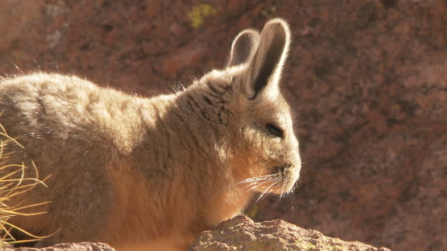 cu shot of viscacha, lagidium viscacia in high andes mountains / san pedro de atacama, norte grande, chile - san pedro de atacama stock videos & royalty-free footage