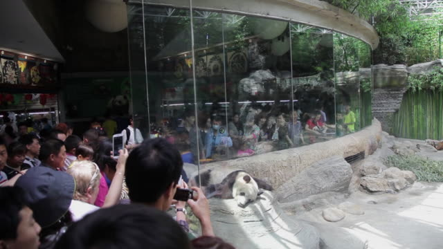 ms shot of visitors watching panda in zoo / beijing, china - zoo stock videos & royalty-free footage