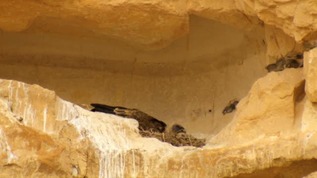 ms shot of vulture incubating egg in nest on cliff in desert / ein avdat, negev desert, israel - negev stock videos & royalty-free footage