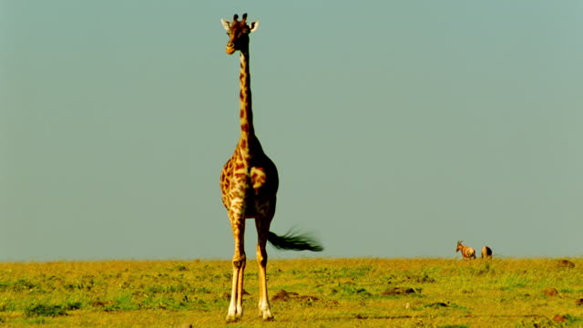 WS Shot of walking giraffe / Masai Mara, Kenya