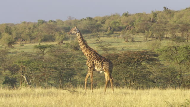 ws shot of walking  giraffe / tanzania - gruppo medio di animali video stock e b–roll