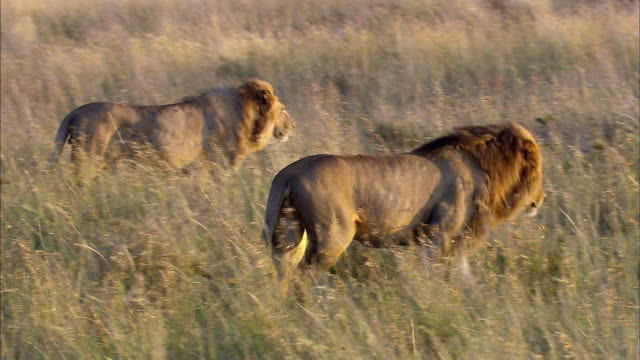 shot of walking lions - male animal stock videos & royalty-free footage