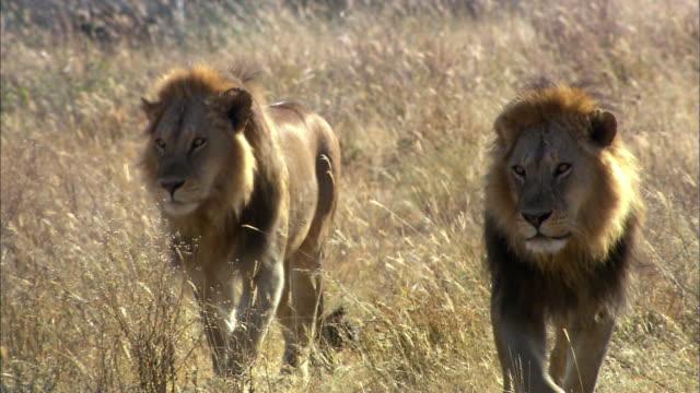 Shot of walking Lions