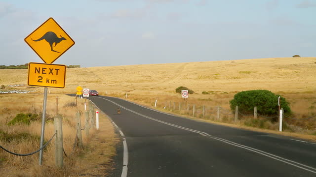 MS Shot of wallaby (a type of kangaroo) crossing road near appropriate road sign / Phillip Island, Victoria, Australia