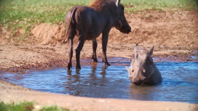 vídeos de stock, filmes e b-roll de ms pan shot of warthog (phacochoerus africanus) resting in waterhole / addo elephant national park, eastern cape, south africa - javali africano