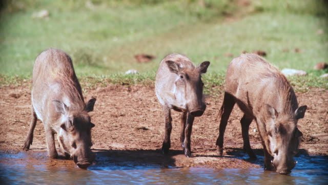 vídeos de stock, filmes e b-roll de ms shot of warthogs (phacochoerus africanus) drinking water / addo elephant national park, eastern cape, south africa - javali africano