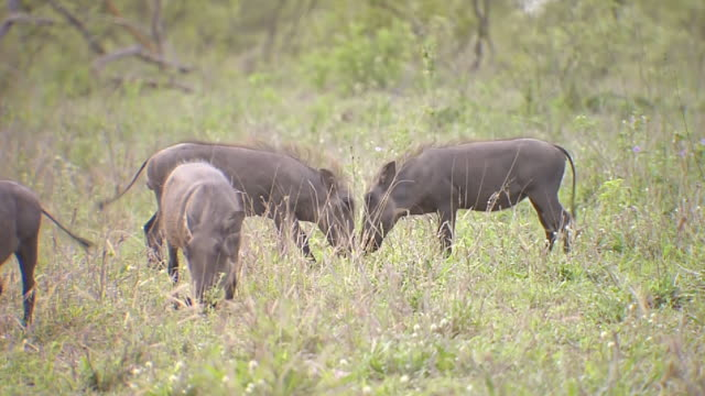 vídeos de stock, filmes e b-roll de ms shot of warthogs grazing and playing together - javali africano