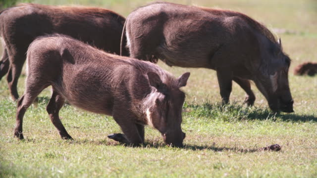 vídeos de stock, filmes e b-roll de ms pan shot of warthogs (phacochoerus africanus) grazing in savannah / addo elephant national park, eastern cape, south africa - javali africano