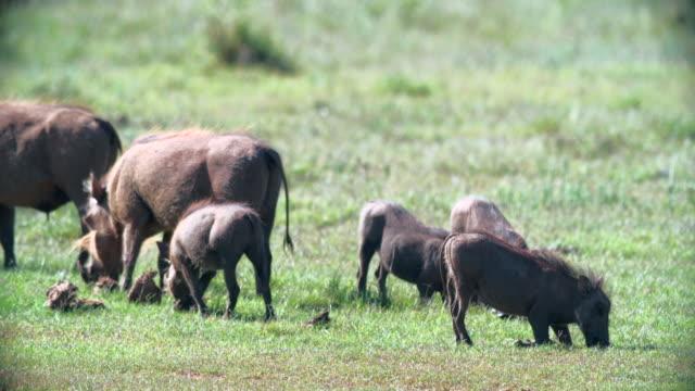 vídeos de stock, filmes e b-roll de ms shot of warthogs (phacochoerus africanus) grazing in savannah / addo elephant national park, eastern cape, south africa - javali africano
