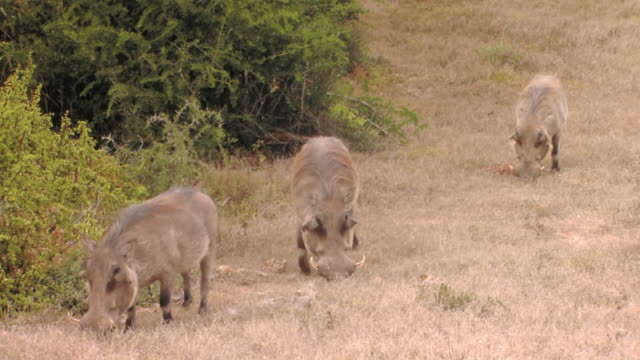 vidéos et rushes de ms shot of warthogs in field / the karoo, south africa - karoo