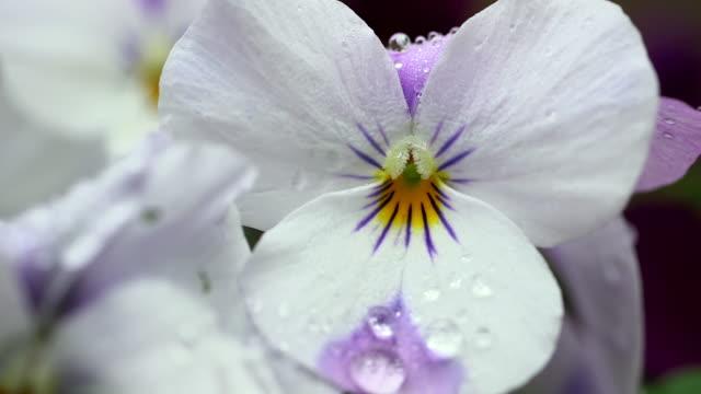 ecu shot of water drops on yellow-violet viola (viola cornuta) flowers / kastel-staadt, rhineland-palatinate, germany - petal stock videos & royalty-free footage