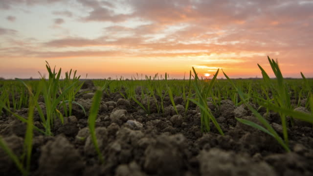 t/l 8k shot of wheat plants at sunrise - seedling stock videos and b-roll footage