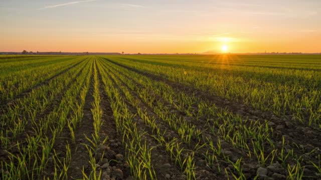 T/L 8K Schuss der Weizenpflanzen bei Sonnenuntergang