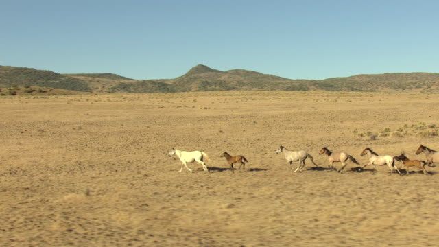 MS AERIAL TS Shot of white and brown wild horses in herd running through pasture in Storey County / Nevada, United States