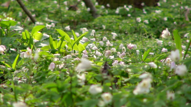CU Shot of white anemone in forest / Saarburg, Rhineland-Palatinate, Germany