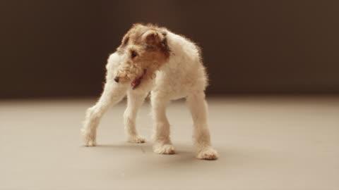 vídeos de stock, filmes e b-roll de ms slo mo shot of white, black and brown terrier puppy walking / shepperton, middlesex, united kingdom - terrier