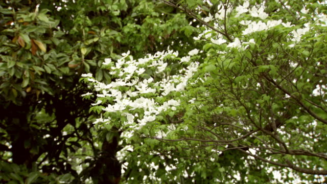 ms zi shot of white dogwood tree full of flowers / greensboro, north carolina, united states - laubbaum stock-videos und b-roll-filmmaterial