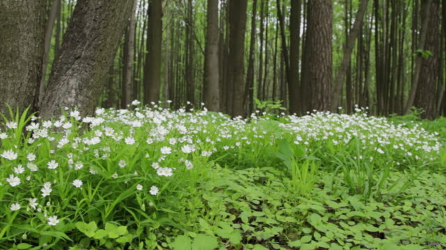 ms pan shot of white flowers in spring forest / moscow region, russia - laubbaum stock-videos und b-roll-filmmaterial