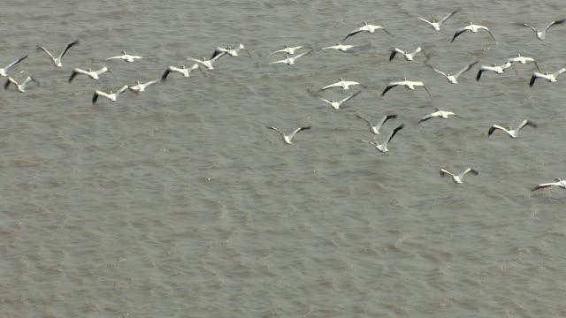 vidéos et rushes de ms aerial ts shot of white pelicans flying in air over mississippi river in bolivar county / mississippi, united states - fleuve mississippi