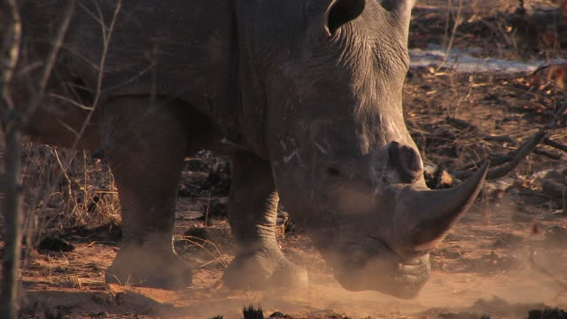 ecu shot of white rhino / kruger national park, mpumalanga, south africa - horned stock videos & royalty-free footage