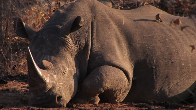 CU Shot of White Rhino resting / Kruger National Park, Mpumalanga, South Africa
