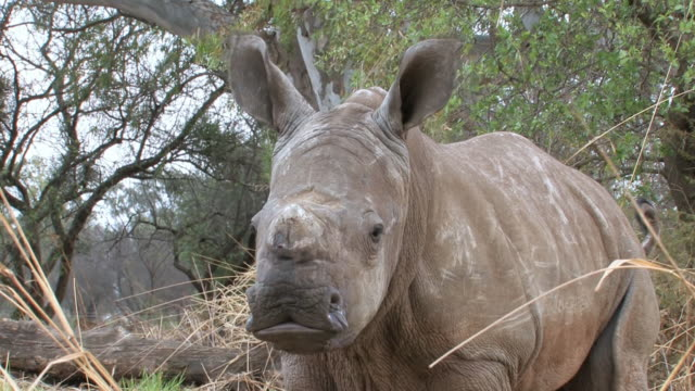 cu shot of white rhinoceros calf / malelane, mpumalanga, south africa - mpumalanga province stock videos and b-roll footage
