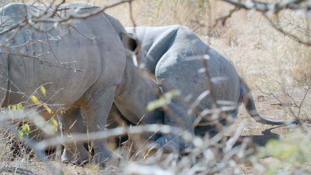 CU Shot of White rhinoceros (Ceratotherium simum) feeding / Pilanesberg Game Reserve, North West Province, South Africa