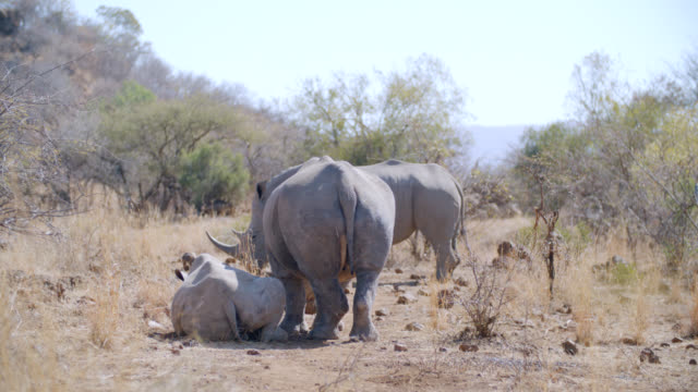 ws shot of white rhinoceros (ceratotherium simum) in savannah / pilanesberg game reserve, north west province, south africa - group of animals stock videos & royalty-free footage