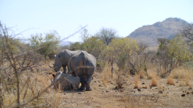 WS Shot of White rhinoceros (Ceratotherium simum) in savannah / Pilanesberg Game Reserve, North West Province, South Africa