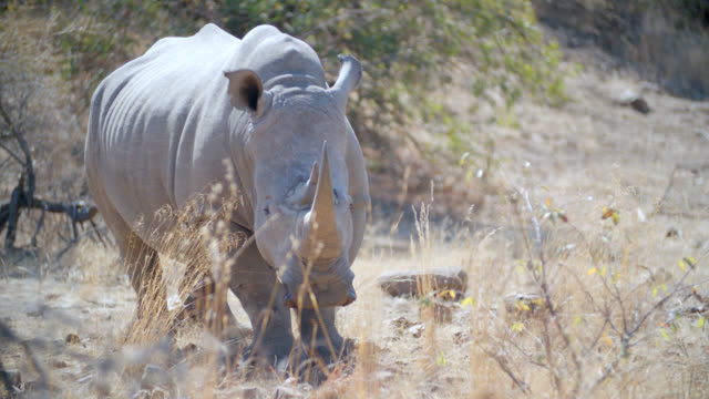 MS Shot of White rhinoceros (Ceratotherium simum) standing in savannah / Pilanesberg Game Reserve, North West Province, South Africa