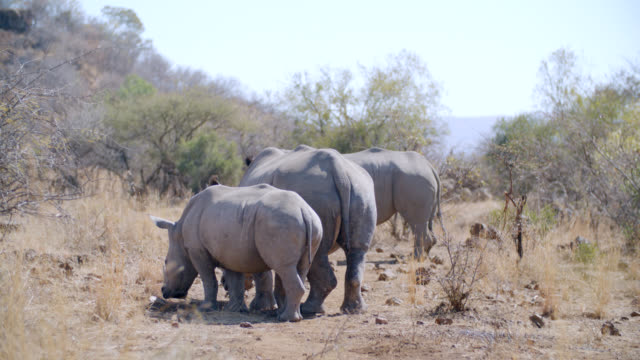 WS Shot of White rhinoceros (Ceratotherium simum) standing in savannah / Pilanesberg Game Reserve, North West Province, South Africa