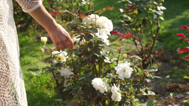 ms pov slo mo shot of white rose bushes pass woman hand brushes over them reveal beautiful brunette in summer dress playfull walking and smiling through in garden / portland, oregon, united states  - formal garden stock videos & royalty-free footage