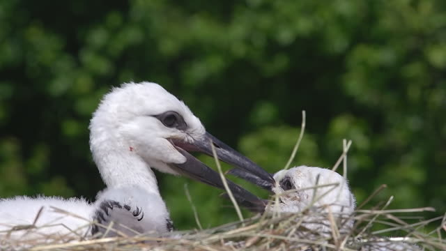 MS Shot of White Stork (Ciconia ciconia) chicks on nest / Ribeauville, Alsace, France