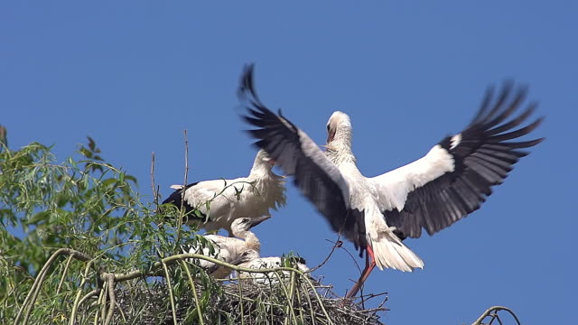 ms pan slo mo shot of white stork (ciconia ciconia) pair and chicks standing on nest and one in flight / saintes marie de la mer, camargue, france - young bird stock videos & royalty-free footage