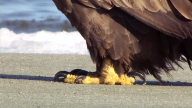 shot of white tailed eagle claws - klaue stock-videos und b-roll-filmmaterial