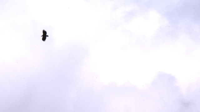 Shot of White Tailed Eagle Flying in the Sky