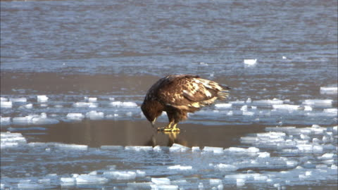 shot of white tailed eagle on the frozen lake - slippery stock videos & royalty-free footage
