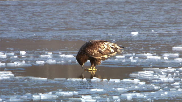 shot of white tailed eagle on the frozen lake - eingefroren stock-videos und b-roll-filmmaterial