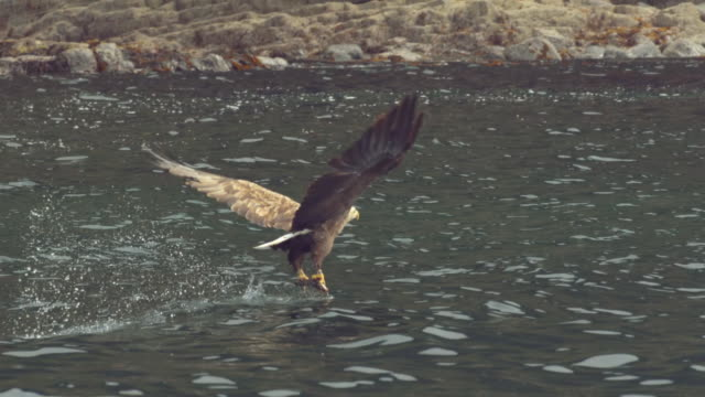 'WS SLO MO TS Shot of White tailed sea eagle Haliaeetus albicilla catching fish / Isle of Mull, Argyll and Bute, Scotland '
