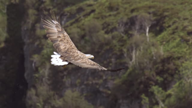 """ms slo mo ts shot of white tailed sea eagle haliaeetus albicilla flying against back side of cliffs / isle of mull, argyll and bute, scotland "" - bird of prey stock videos & royalty-free footage"
