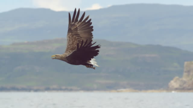 """ms slo mo ts shot of white tailed sea eagle haliaeetus albicilla flying / isle of mull, argyll and bute, scotland "" - schottisches hochland stock-videos und b-roll-filmmaterial"