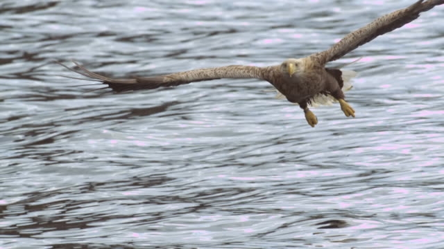 """vídeos y material grabado en eventos de stock de """"ms slo mo ts shot of white tailed sea eagle haliaeetus albicilla flying then swooping down head on but doesn't catch fish / isle of mull, argyll and bute, scotland """" - isla de mull"""