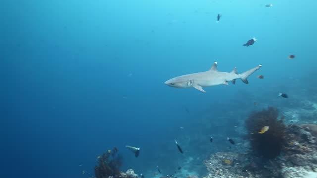 ms ts shot of white tip reef shark swimming in blue water / sipadan, semporna, tawau, malaysia - oceanic white tip shark stock videos & royalty-free footage